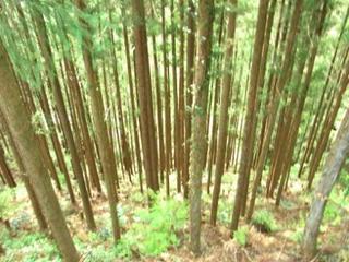 杉の木.jpg